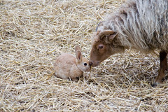 animal love (ksvrbrg) Tags: rabbit bunny sheep konijn schaap