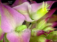 Polygala mariana 2K (Lynch Images) Tags: scope dicot magnoliophyta angiosperm dicotyledonae magnoliatae
