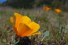 20080316 Poppy Loner
