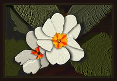 Primrose Textures (Digibug2) Tags: flowers white flower green floral gardens garden foliage closeups primrose rebelxti