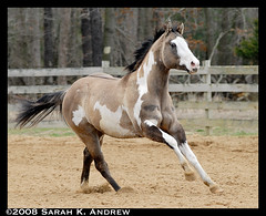OH Justin Time: Silver Grullo Overo Paint Stallion (Rock and Racehorses) Tags: justin silver paint colt stud stallion gallop grullo overo