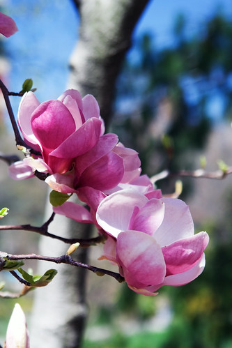 107/365 Pink Magnolias