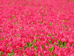Azalea / Rhododendron / ( (TANAKA Juuyoh ()) Tags: pink flower high hires rhododendron resolution hi azalea  res g7