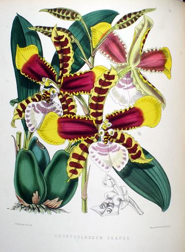Odontoglossum grande