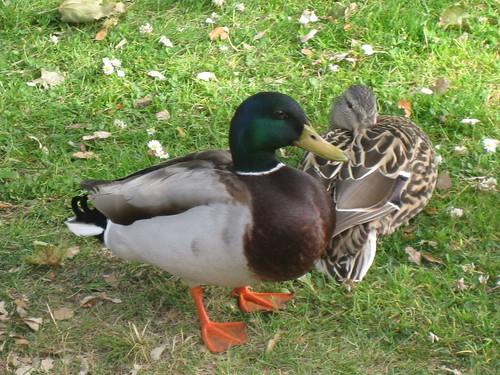 San Lorenzo Park Ducks