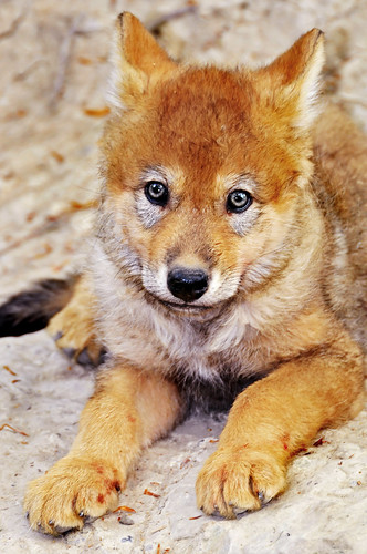 Cute wolf pup
