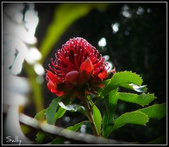 Another member of the protea family.. (sallysue007) Tags: red nature sony explore takeabow naturesfinest welltaken kirstenboschgardens abigfave proteafamily flickrgold heartsaward exploreflowers flickrsawesomeblooms