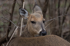 2647 (Eric Wengert Photography) Tags: deer mammal whitetaileddeer