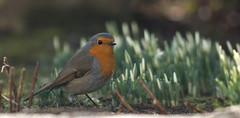 Spring cant't be far away any longer! (pe_ha45) Tags: robin rotkehlchen bird vogel roodborst piscodepeitoruivo petirrojo pettirosso rougegorge vorgarten küchentür bauchlage schneeglöckchen