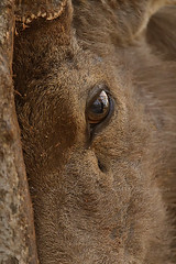 Sambar eyes (dickysingh) Tags: ranthambore ranthambhore wild wilderness sambardeer eye head