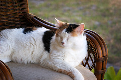 Patches enjoying the breeze (towert7) Tags: cat patches kitty pet lanai relaxing nikon d50 nikkor 70210 e f4