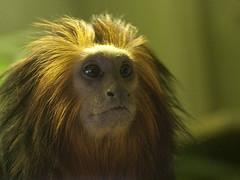 Golden-headed Tamarin (Jim Nicholson) Tags: nikon goldenheadedtamarin leontopithecuschrysomelas nikkor50mmf18 marwell zooanimal d300 nikond300 tamarin newworldmonkey jimnicholson vogonpoetry vogoncentumvisum gb gbr