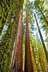 _MG_1073 (m24instudio) Tags: california trees tree forest sierra redwood redwoods lush sierranevada sequoia forests talltree gianttree sequoiatrees treesubject m24instudiotravelphotography