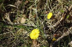 tussilago (rotabaga) Tags: flowers gteborg pentax sweden gothenburg sverige blommor k5