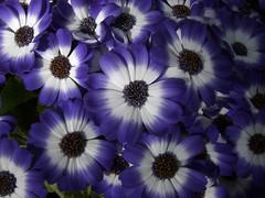 Purple and white cineraria (Shandchem) Tags: purple cineraria