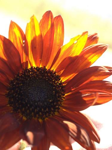 Backlite Sunflower