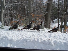 DSC04347 (batwrangler) Tags: birds wildlife nh turkeys wildturkeys nhwildlife