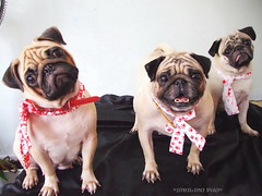 Smiling Pugs by *Smiling Pug* on Flickr