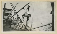 Reeve 075017 (otisarchives2) Tags: horses ships slings veterinarymedicine hoists