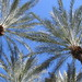 palm trees in Phoenix by sipper5@sbcglobal.net