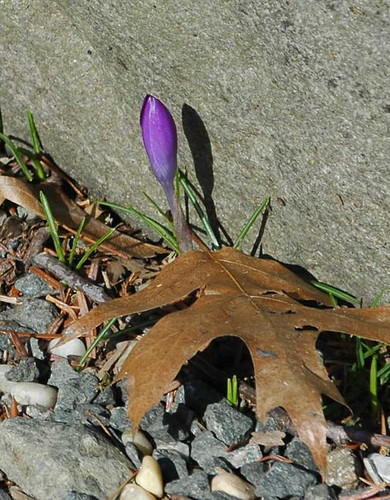 First Crocus, Rock Garden, BBG