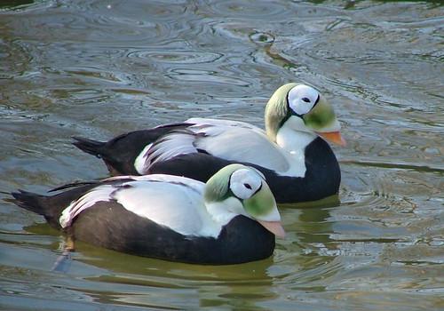 different types of ducks habitat