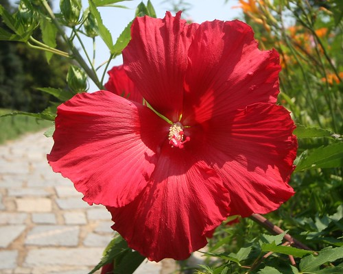 Giant Red Flower