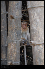 monkey (Smevin Paul) Tags: india paul photography nikon photos kerala contact 1855 thrissur trichur kuriachira smevin smevinpaul d40x trisoor malayalikkoottam smevins thrisookaran kfm3