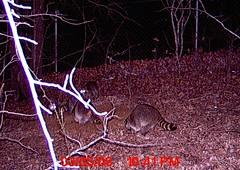 Freaking Raccoons