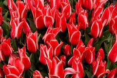 tulipfarmvisit1
