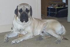 Excalibur (muslovedogs) Tags: dogs mastiff excalibur