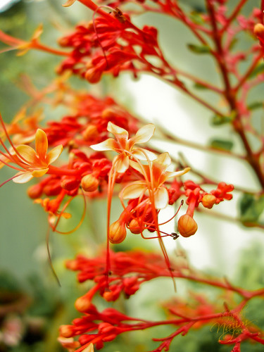 bucay. dhivehi. flower. flowers