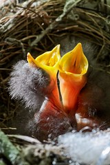 Newborns (Alex Gilliard) Tags: baby bird sports nature nest wildlife mockingbird strobist