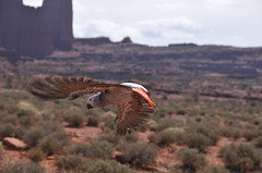 Cressi freeflying (Dave Womach) Tags: birds dave grey utah flying desert african flight free moab congo parrots macaws freeflight cressi jamieleigh womach