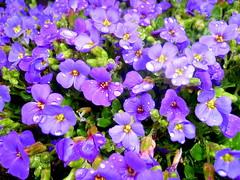 Purple Rain (marin.a) Tags: flowers plant flower green rain drops purple raindrops raindrop
