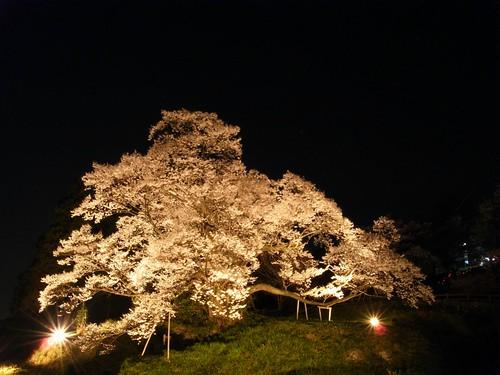 仏隆寺(千年桜)ライトアップ-02