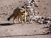 Andean fox that lives at the borde…