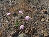 Calyptridium monospermum (xerantheum) Tags: california pink plants nativeplants calyptridium monospermum