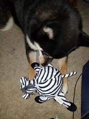 Mochi Squeaker (mockraven) Tags: mochi shiba inu indoor dog squeaker toy zebra