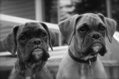 Bonza & Kronos (jpnol) Tags: bw dog chien puppy nikon noir boxer et blanc chiot 2007 flickrbest jpnol