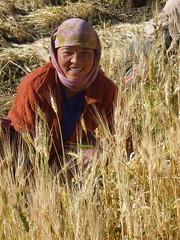 young Ladakhi woman harvesting barley