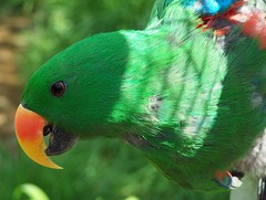 pdo grand eclectus gros plan 260405 (koller93) Tags: bird animals zoo parrot exotic animaux parc oiseau tiergarten papagei vogel eclectus papagayo birdwatcher perroquet amazonie exotique featheryfriday villarslesdombes parcdesoiseaux platinumphoto colourartaward