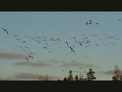 Birds! (ZeroOne) Tags: sky bird birds animals espoo finland geese flock goose barnaclegoose dscv1 otaniemi animan