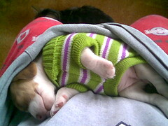 puppy in a sweater in a sweatshirt (soozums) Tags: cameraphone beagle puppy sadie