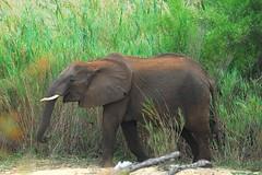 (jeremyhughes) Tags: elephant reeds southafrica nikon ears elephants nikkor wrinkles krugernationalpark tusks kruger wrinkly nikond200 300mmf4d