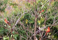 My Queendom for a cardinal! (Lollie Dot Com) Tags: bird cards cardinal cardinals malecardinal lolliedotcompix malecardinals p1340789cc