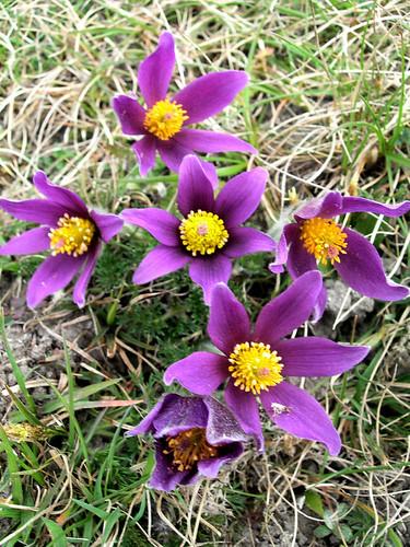 Polar Tundras Tundra Plant Pasque Flowers