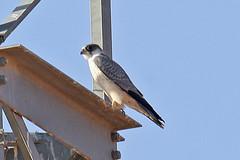 032054-IMG_4825 Grey Falcon (Falco hypoleucos) (ajmatthehiddenhouse) Tags: greyfalcon grayfalcon falcohypoleucos falco hypoleucos sa southaustralia bird 2007 globalbirdtrekkers australia avibase