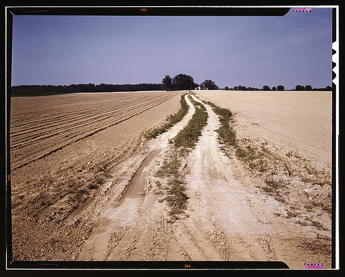 Bean field under cultivation, Seabrook Farm, Bridgeton, N.J. (LOC)