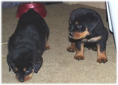play2 (muslovedogs) Tags: dogs puppy rottweiler teaara zeusoffspring